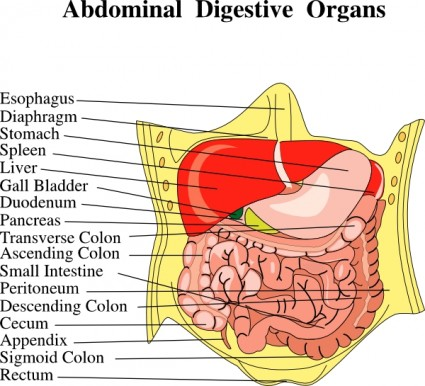 digestive_organs_medical_diagram_clip_art_16049