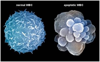 apoptosis.jpg