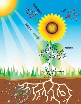 fotosyntes.jpg